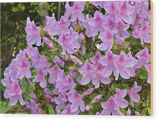 Pink Rhododendron 1  Wood Print