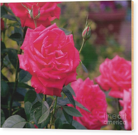 Pink Rose And Bud Wood Print by Rod Ismay