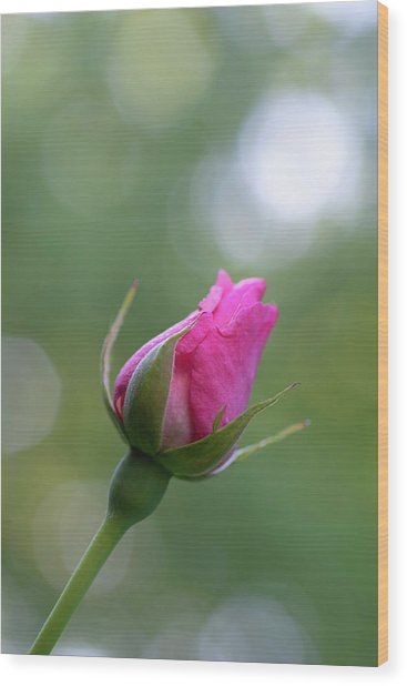 Pink Rose Bud Wood Print