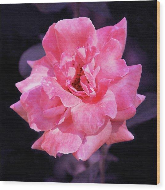 Pink Rose With Violet Wood Print