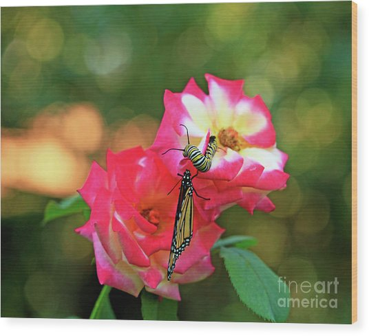 Pink Roses And Butterfly Photo Wood Print