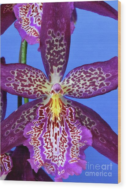 Pink Spotted Oncidium Orchids Wood Print