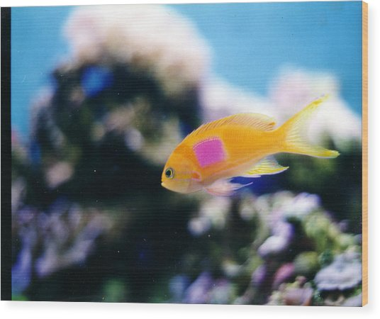 Pink Square Anthias Part II Wood Print by Steve  Heit