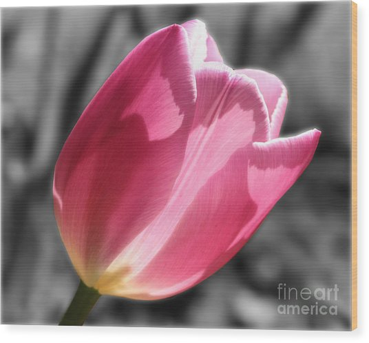 Pink Tulip On Black And White Wood Print