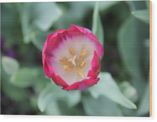 Pink Tulip Top View Wood Print