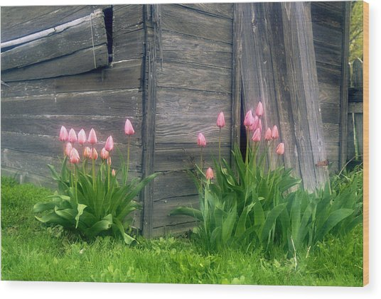 Pink Tulips And Weathered Shed Wood Print by Roger Soule