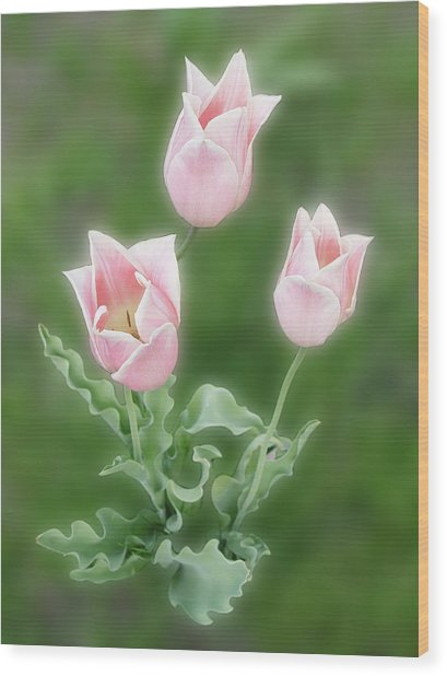Pink Tulips Wood Print by Rockstar Artworks