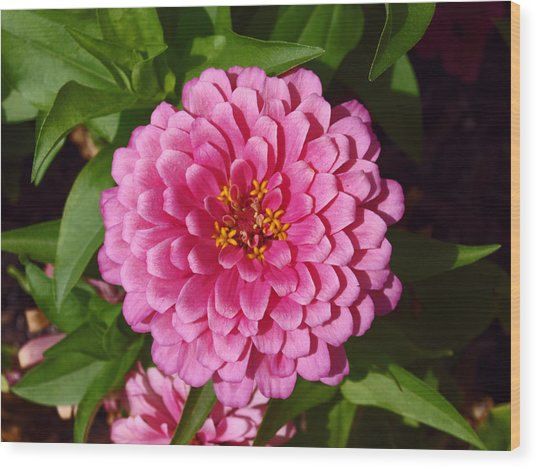 Pink Velvet Wood Print by James Granberry
