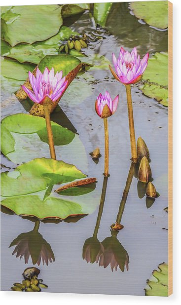Pink Water Lilies In A Pond Wood Print