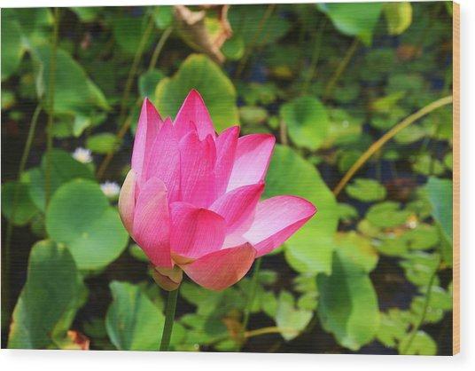 Pink Water Lotus Wood Print by Michael Palmer