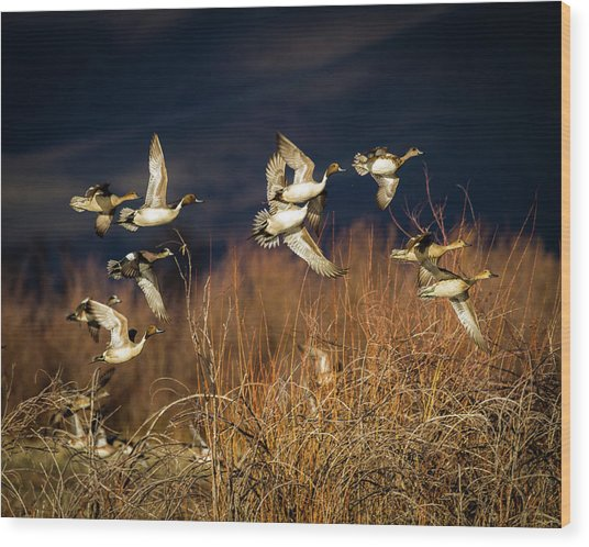 Pintails And Wigeons Wood Print