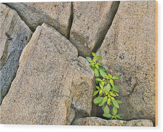 Plant In Granite Crevice Abstract Wood Print