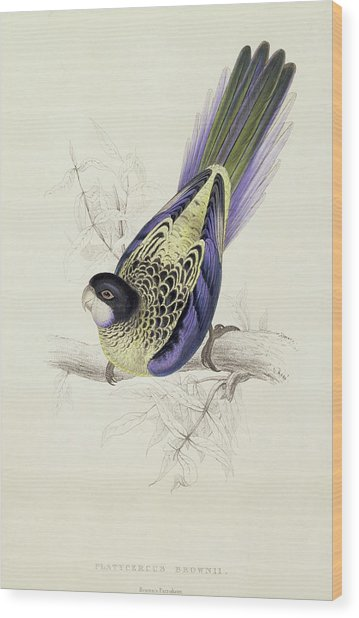 Platycercus Brownii, Or Browns Parakeet Wood Print