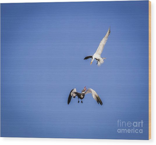 Playing Terns Wood Print