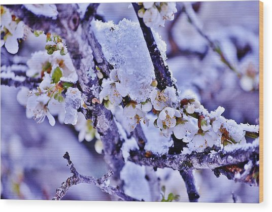 Plum Blossoms In Snow Wood Print