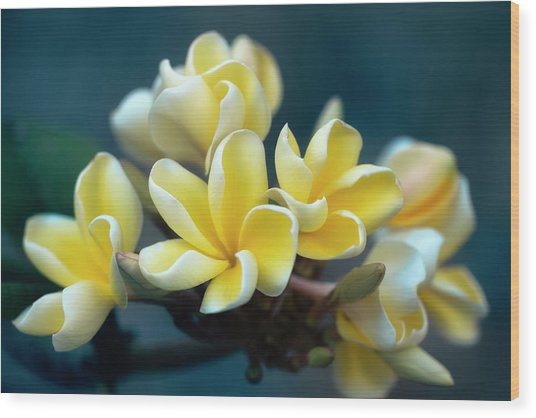 Plumerias Out Of The Blue Wood Print