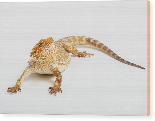 Pogona Isolated Wood Print