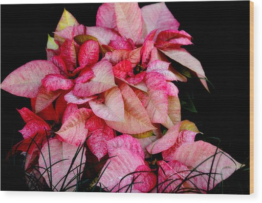 Poinsettia Wood Print by Lyle  Huisken