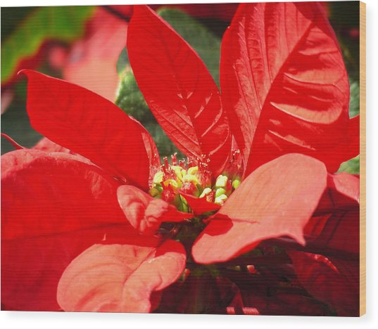 Poinsettia Wood Print by Mary Lane