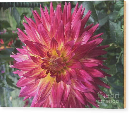 Pointed Dahlia Wood Print