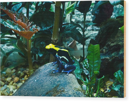 Poison Dart Frog Poised For Leap Wood Print