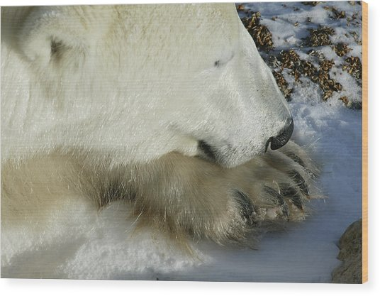 Polar Bear Close Up Wood Print
