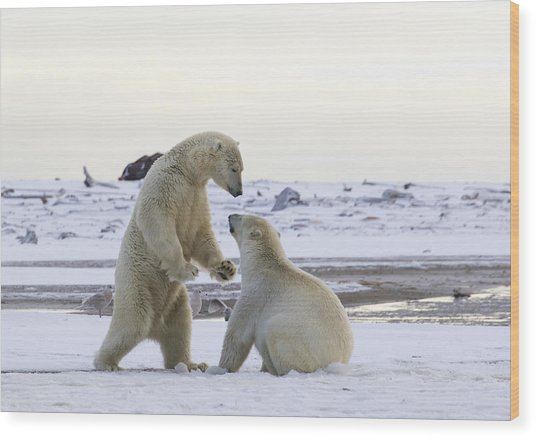 Polar Bear Play-fighting Wood Print