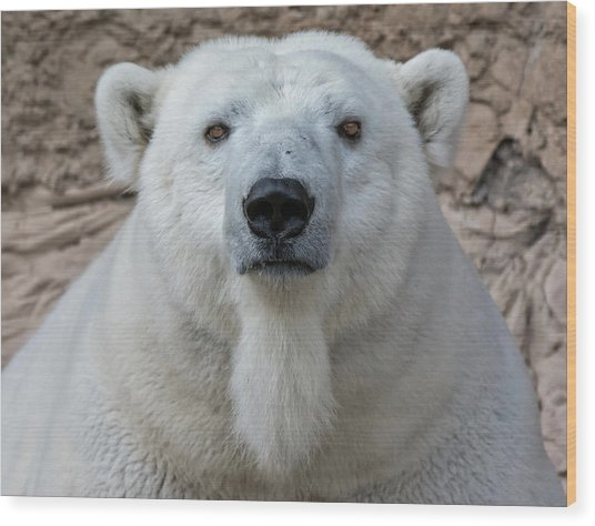 Polar Bear Portrait  Wood Print
