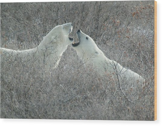 Polar Bears Jawing Wood Print