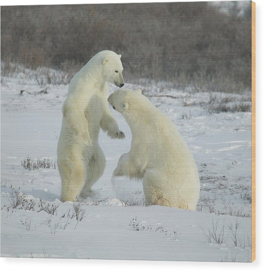 Polar Bears Jousting Wood Print