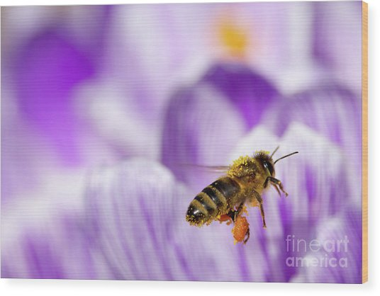Pollen Collector Wood Print by Sharon Talson