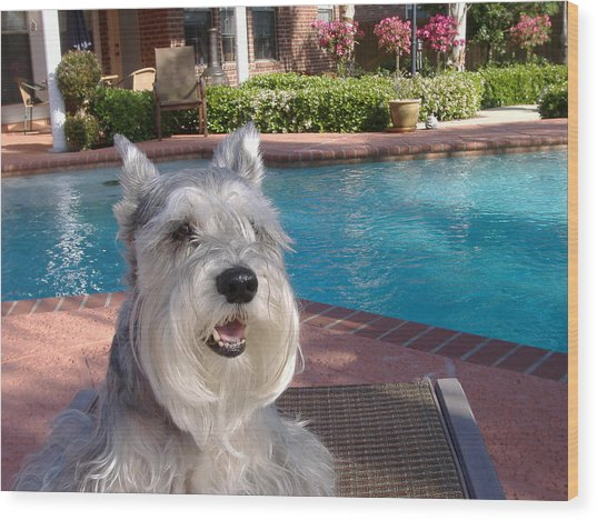 Pooch At Poolside Wood Print