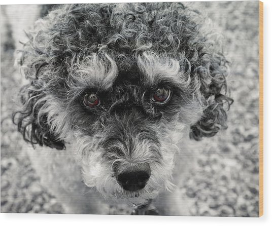 Poodle Eyes Wood Print