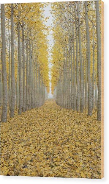 Poplar Tree Farm One Foggy Morning In Fall Season Wood Print