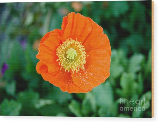 Poppie Wood Print by Maureen Norcross