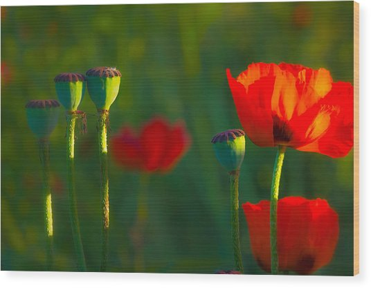 Poppies In Evening Light Wood Print