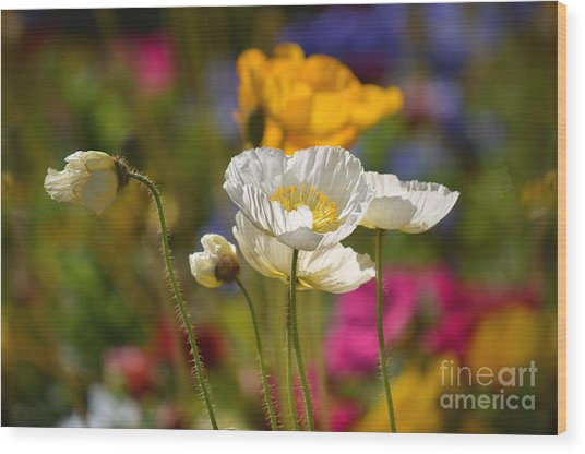 Poppies In The Spring Wood Print