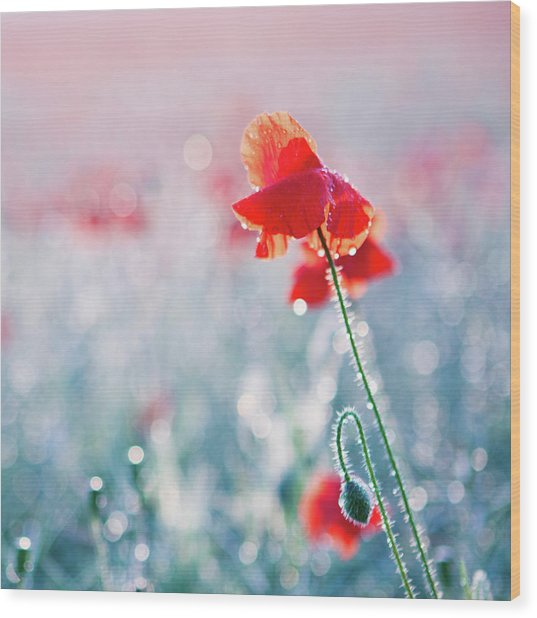 Poppy Field In Flower With Morning Dew Drops Wood Print