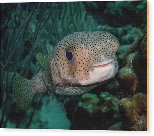 Porcupine Fish Wood Print