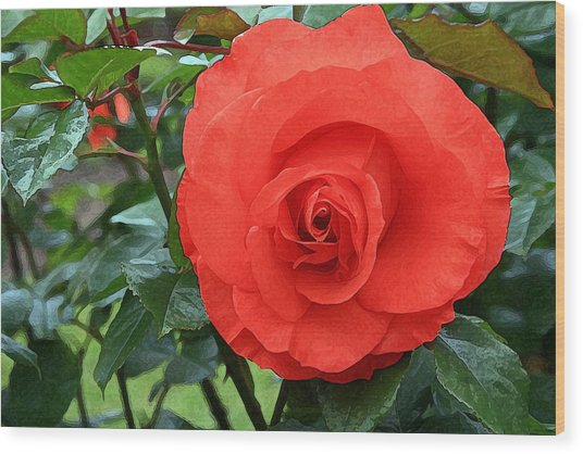 Portland Rose Garden Wood Print by Margaret Hood
