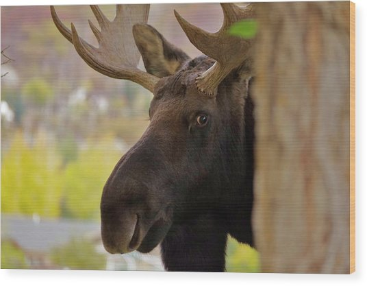 Portrait Of A Bull Moose Wood Print