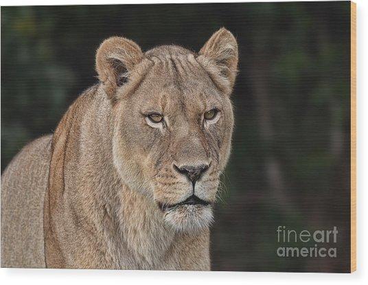 Portrait Of A Lioness II Wood Print