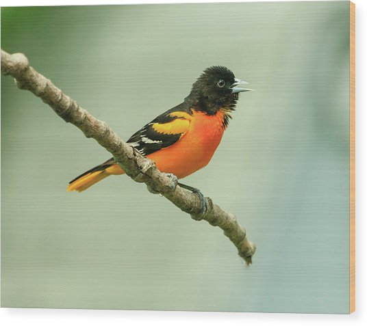 Portrait Of A Singing Baltimore Oriole Wood Print