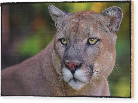 Portrait Of  Cougar  Wood Print