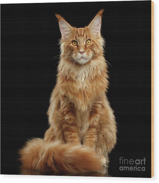 Portrait Of Ginger Maine Coon Cat Isolated On Black Background Wood Print