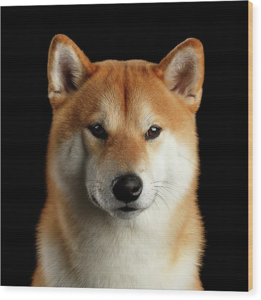 Portrait Of Shiba Inu Wood Print
