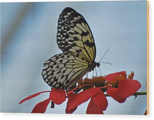 Praying Butterfly Wood Print