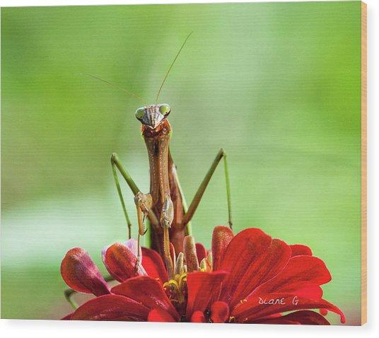 Praying Mantis On Zinnia Wood Print