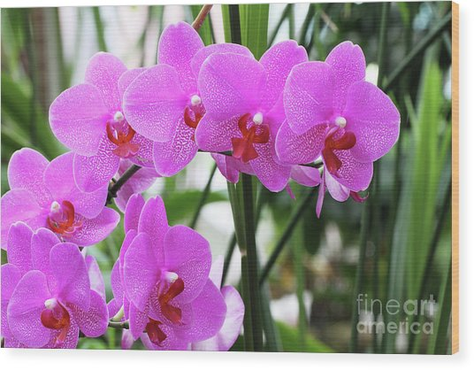 Pretty Pink Phalaenopsis Orchids #2 Wood Print