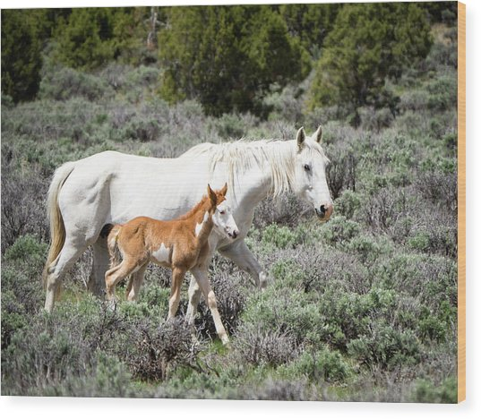 Pretty White Mustang Mare With Her New Foal - Sand  Wash Basin Wood Print